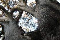 tree Kamiros Greece